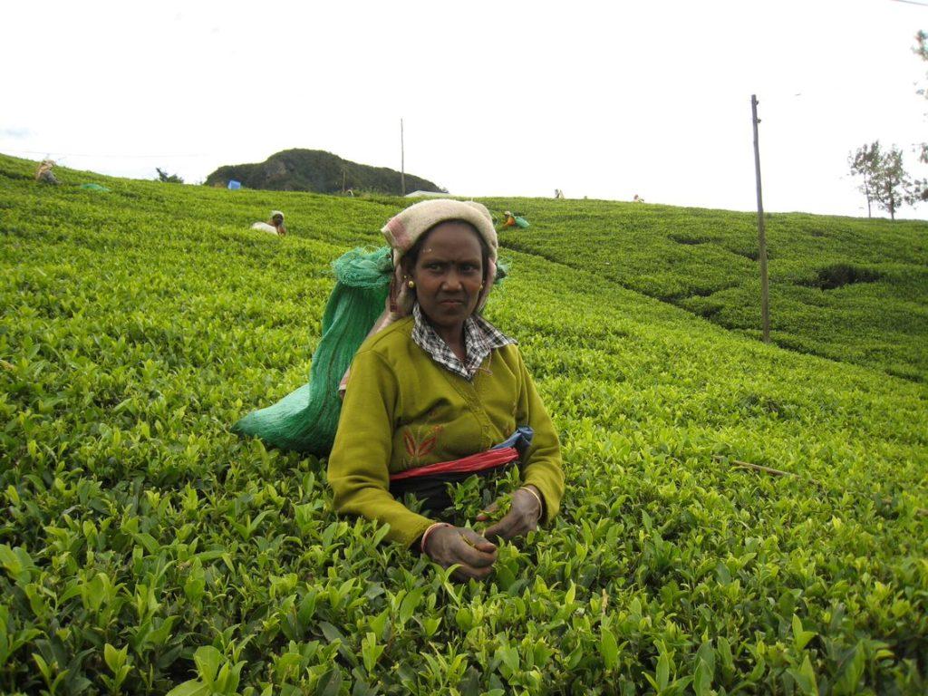 スリランカの茶園